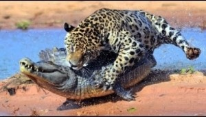 Video: ANIMAL ATTACKS - Most Spectacular Animals Hunting Compilation including Lions Mongoose Jaguar